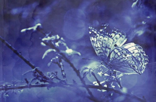 cyanotypebutterflyragged02bokehCR